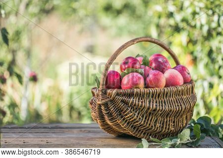 Basket Full Of Ripe Apples In A Garden. Apple Harvest. Autumn Concept. Fresh Apples. Apples As A Bac