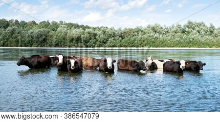 Cows watering in the river. Animal photography