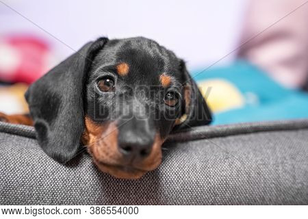 Portrait Of Adorable Sad Dachshund Puppy Lying With Its Head On Side Of Pet Bed, Front View, Close U