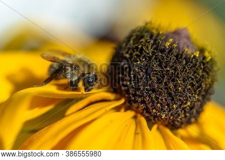 Bee On A Yelow Flower In Summer