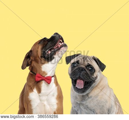 cute boxer dog howling sad on yellow background next to pug dog sticking out tongue happy on yellow background