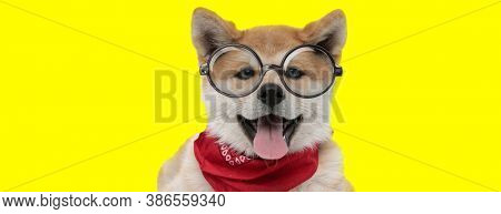 adorable akita inu dog wearing red bandana and glasses, sticking out tongue and panting on yellow background