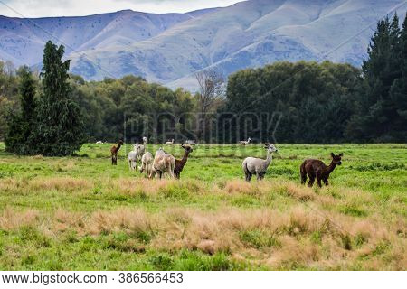 Herd of colorful llamas grazes on a green lawn. Animal breeding farm for wool and meat. The concept of exotic, ecological and photo tourism