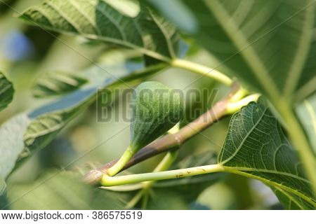 Fig Leaves And Fig Friut.\ngreen Raw Figs On The Branch Of A Fig Tree With Morning Sun Light.
