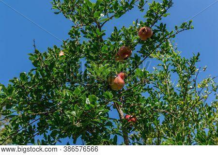 Bunch Of Pomegranate Fruit On A Tree, Blue Sky Background