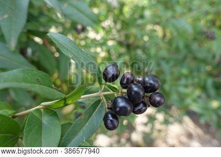 Panicle Of Black Berries Of Common Privet In September