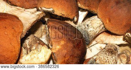 Mushrooms Aspen Mushrooms.background Of Fresh Aspen Mushrooms.