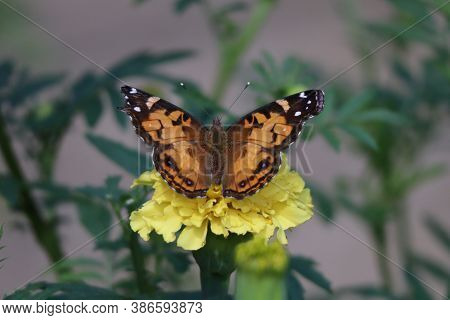 A Beautiful Monarch Butterfly On A Marigold.