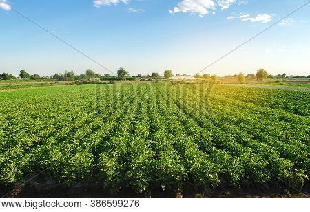 Plantation Landscape Of Green Potato Bushes. European Organic Farming. Growing Food On The Farm. Gro