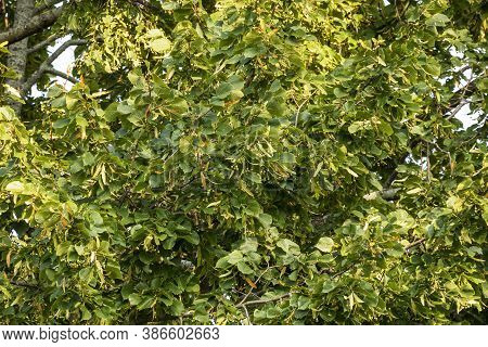 The Linden. Tree  Linden For The European Species, And Basswood For North American Species.