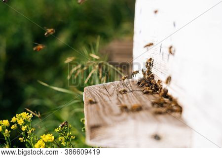 Side View Of Close-up Swarm Of Honey Bees Carrying Pollen To Beehive In Bright Summer Sunny Day At A