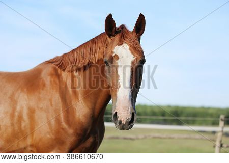Portrait Head Shot Of A Thoroughbred Chestnut Colored Horse In Summer Paddock Under Blue Sky