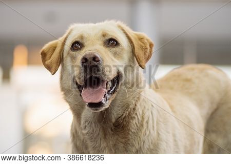 Animal Portrait Of Friendly Beige Dog With Tongue, Pet Lover Concept.