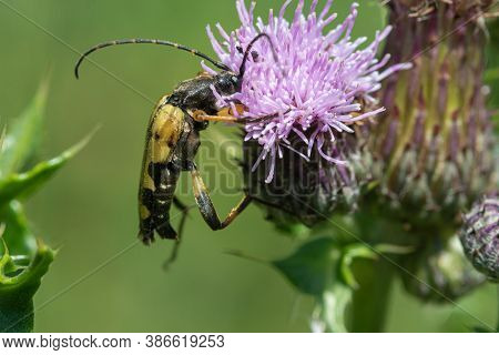 Macro Shot Of A Spotted Longhorn (rutpela Maculata) Beetle On A Thistle Flower
