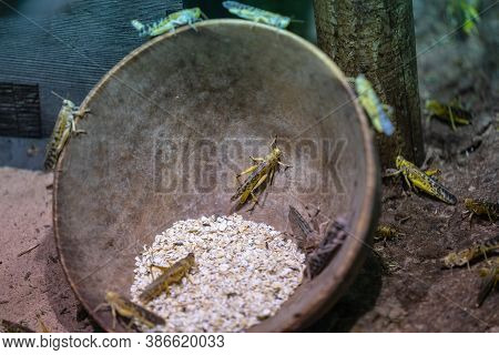 Desert Locust Schistocerca Gregaria Is A Species Of Locust, A Periodically Swarming, Short-horned Gr