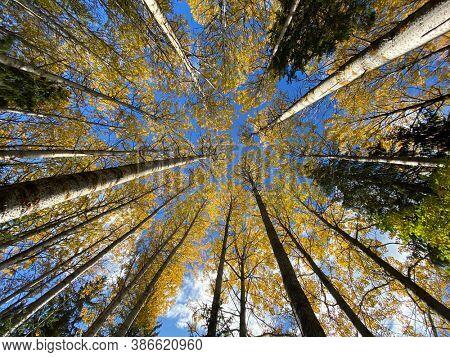Yellow aspen trees in autumn