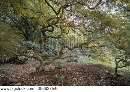 Tree With A Curved, Forked Japanese-style Trunk In The Nymph Gardens In The Latina Province Of Italy