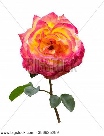 Pink  And Yllow Rose  With Stem And Leaves Isolated On  White  Background.