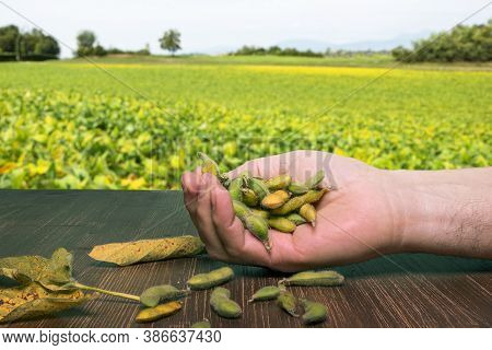 Soybeans Pods On A Wooden Table With The Background View Of Soybean Crops On A Sunny Day