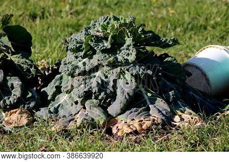 Single Tall Old Kale Or Leaf Cabbage Hardy Cool Season Annual Green Vegetable Plant With Thick Leath