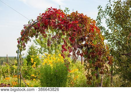 Pergola With Red-green Leaves Of Decorative Grapes In The Garden