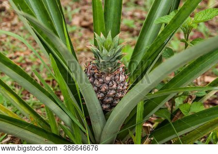 A Small Pineapple Growing On Pineapple Plant.