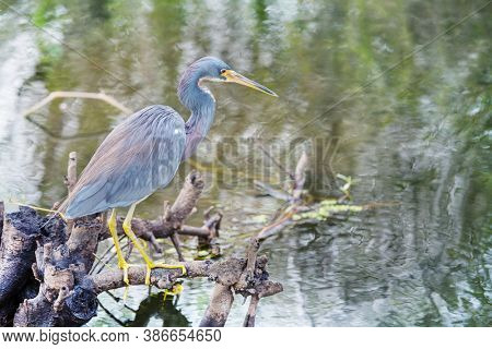 Grey Heron (Ardea cinerea), Everglades National Park, Florida