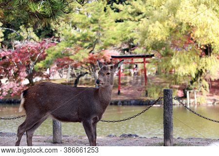 Deer Standing Background Water And Autumn Garden At The Park In Nara, Japan. The Park Is Home To Hun