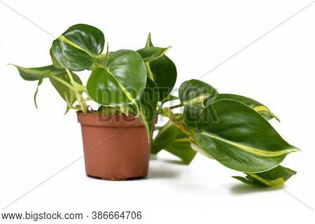 Tropical Houseplant With Botanic Name  'philodendron Hederaceum Scandens Brasil' With Yellow Stripes