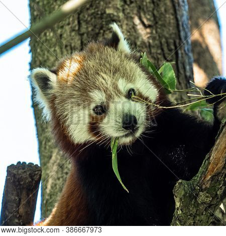 The Red Panda, Ailurus Fulgens, Also Called The Lesser Panda And The Red Cat-bear.