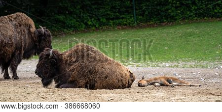 The American Bison Or Simply Bison, Also Commonly Known As The American Buffalo Or Simply Buffalo, I