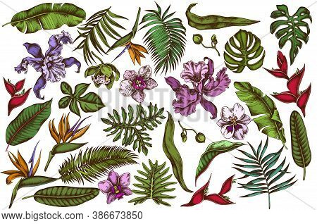 Vector Set Of Hand Drawn Colored Monstera, Banana Palm Leaves, Strelitzia, Heliconia, Tropical Palm