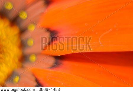 Beautiful Gazania Flower Close Up .macro Photo