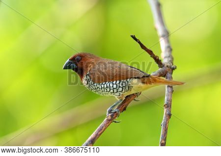 The Scaly-breasted Munia Or Spotted Munia (lonchura Punctulata), Known In The Pet Trade As Nutmeg Ma