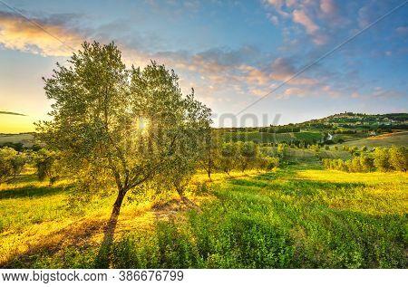 Casale Marittimo Village, Olive Tree And Countryside Landscape In Maremma At Sunset. Pisa Tuscany, I