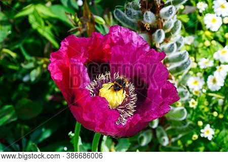 A Bumble Bee Collecting Pollen From A Purple Coloured Poppy, Uk