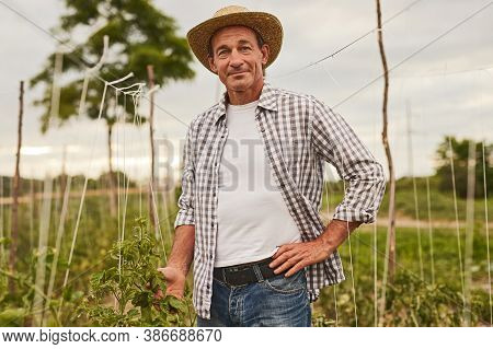 Confident Middle Aged Male Farmer In Straw Hat Standing Near Tomato Bushes In Farmer Field In Summer