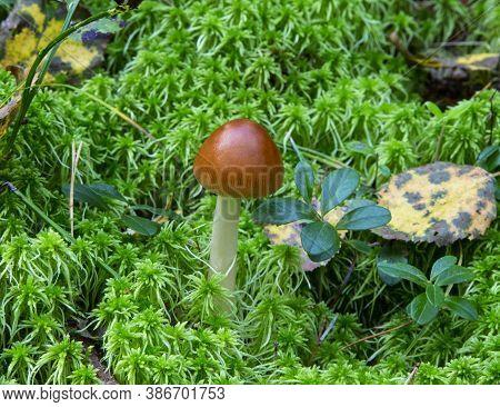 Amanita Fulva Mushroom, Also Known As The Tawny Grisette