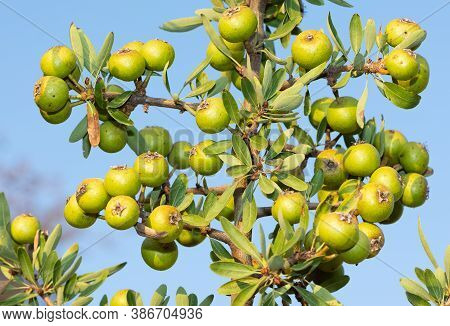 Wild Plants And Wild Fruits. Wild Pear Photos.