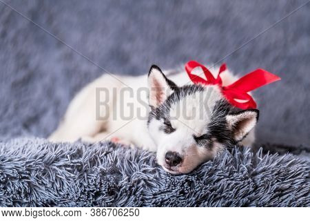 A small white dog puppy breed siberian husky with red bow sleep on grey carpet. Perfect birthday present for your child. Dogs and pet photography