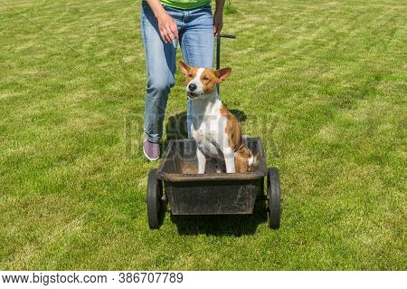 Young Basenji Dog Sitting In Metal Basket Of Wheel Barrow And Asking Master To Hurry Up With Startin