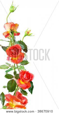 floral vertical frame of red roses isolated on white background