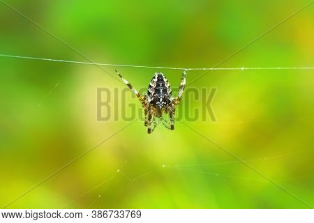 European Garden Spider Hanging On A Web Wire. Araneus Diadematus With A Cross On The Back In A Spide