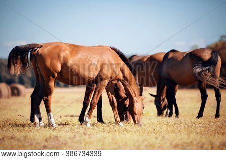 A Herd Of Sporting Horses Grazing On The Field.  A Herd Of Red Horses. Rural Landscape.