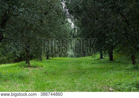 Olive Trees On Lake Garda. High Quality Photo