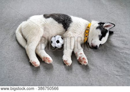 A small white dog puppy breed siberian husky with beautiful blue eyes lays on grey carpet with ball toy. Dogs and pets photography