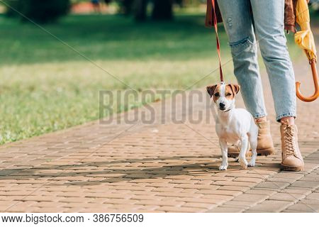 Cropped View Of Woman With Umbrella Standing Near Jack Russell Terrier On Leash On Walkway
