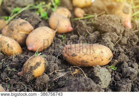 Freshly Dug Raw Potatoes On The Soil Of A Farm Field. Harvesting, Harvest. Harvesting Potato. Fresh