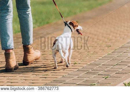 Partial View Of Woman Walking With Jack Russell Terrier Dog On Leash