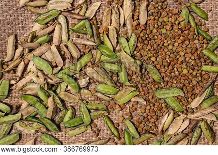 Grass Pea Seeds Or Chickling Vetch Pods Isolated On Burlap Background, Also Known As Lathyrus Sativu